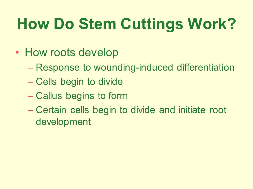 How Do Stem Cuttings Work? How roots develop –Response to wounding-induced differentiation –Cells begin to divide –Callus begins to form –Certain cell