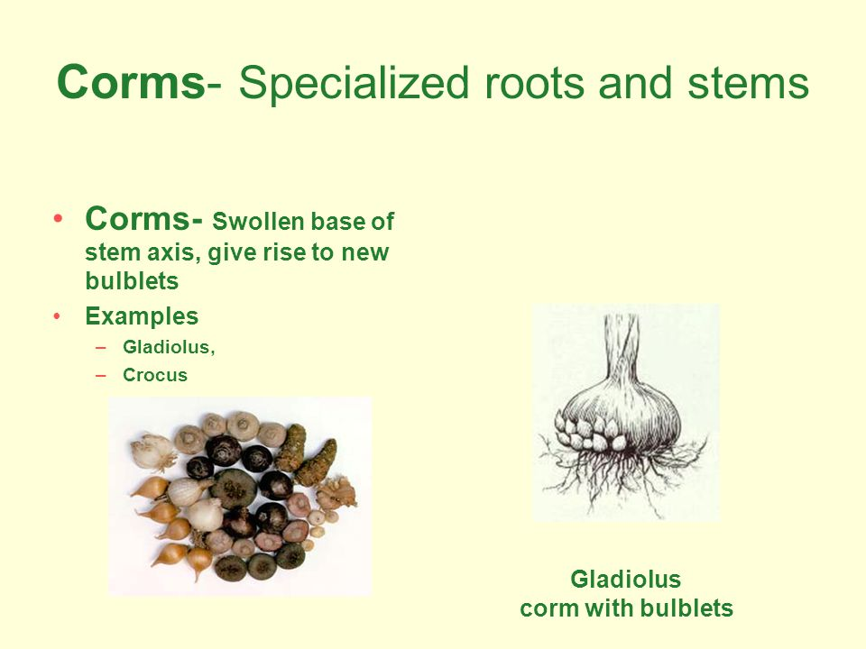 Corms- Specialized roots and stems Corms- Swollen base of stem axis, give rise to new bulblets Examples –Gladiolus, –Crocus Gladiolus corm with bulble