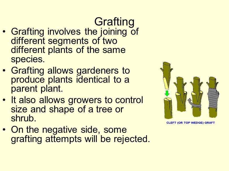 Grafting Grafting involves the joining of different segments of two different plants of the same species. Grafting allows gardeners to produce plants