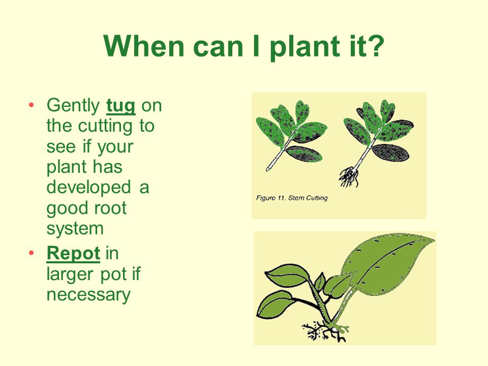 When can I plant it? Gently tug on the cutting to see if your plant has developed a good root system Repot in larger pot if necessary