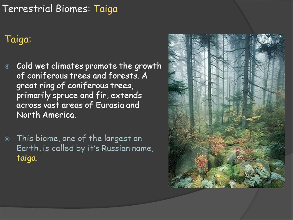 Terrestrial Biomes: Taiga Taiga:  Cold wet climates promote the growth of coniferous trees and forests. A great ring of coniferous trees, primarily s