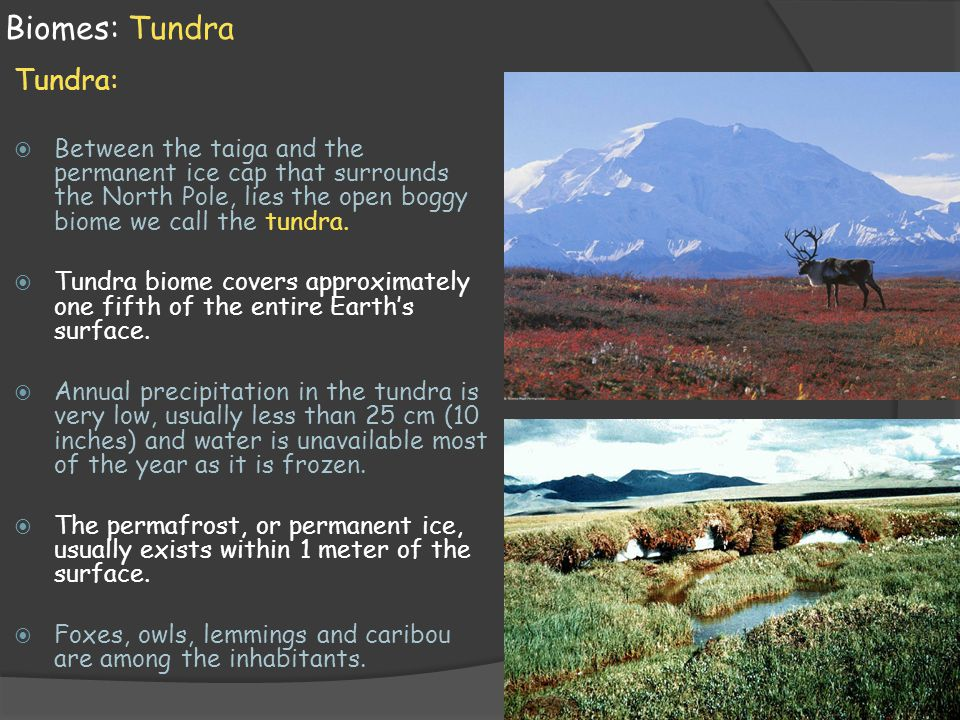 Biomes: Tundra Tundra:  Between the taiga and the permanent ice cap that surrounds the North Pole, lies the open boggy biome we call the tundra.  Tu