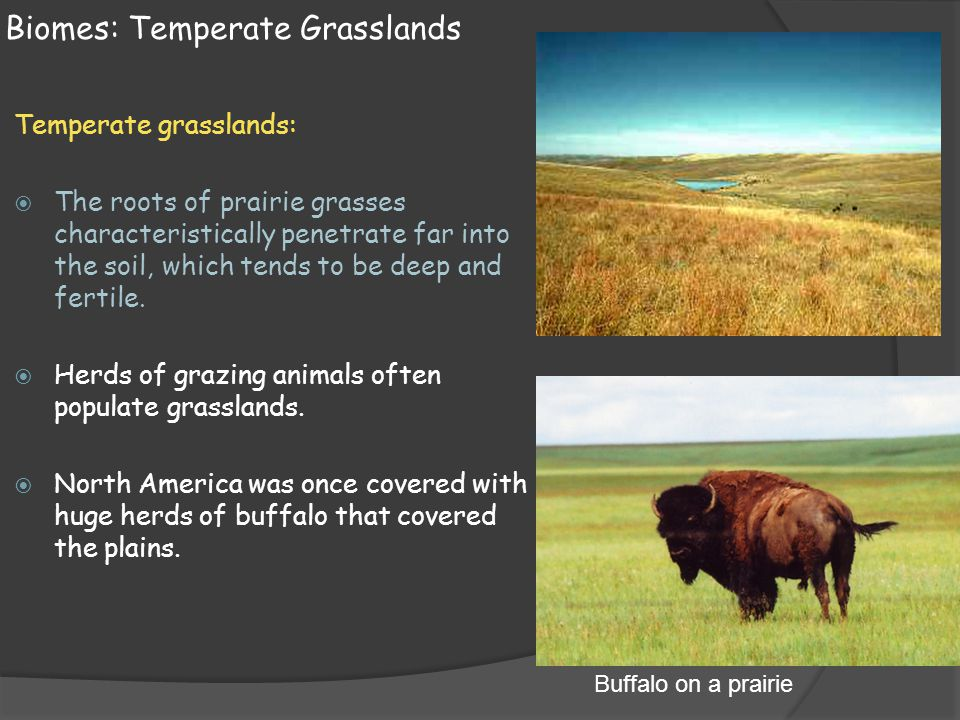 Biomes: Temperate Grasslands Temperate grasslands:  The roots of prairie grasses characteristically penetrate far into the soil, which tends to be de