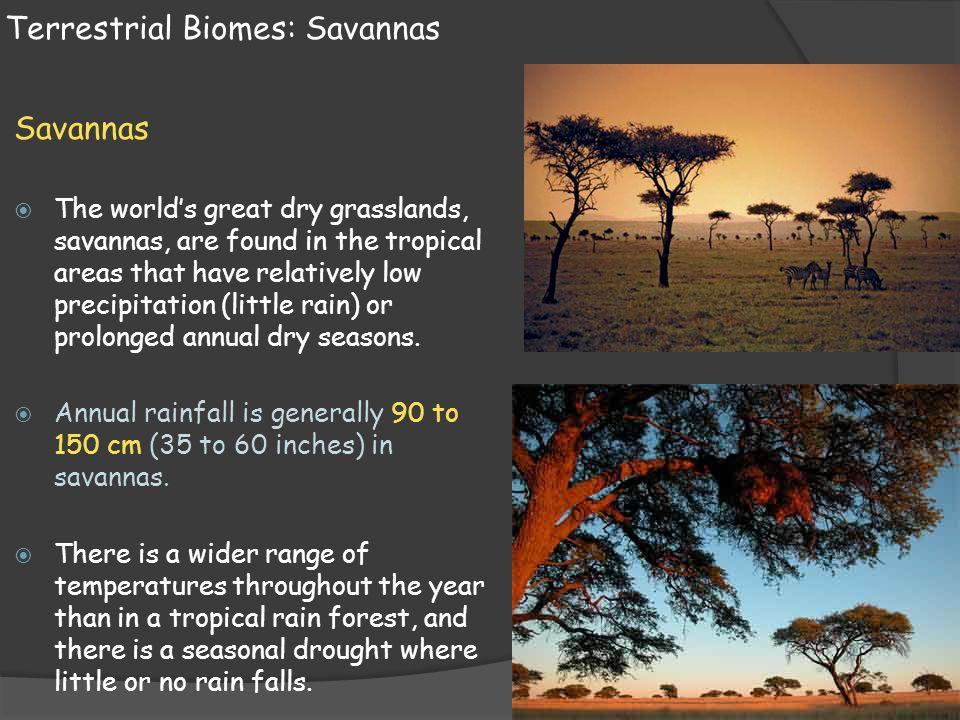 Terrestrial Biomes: Savannas Savannas  The world's great dry grasslands, savannas, are found in the tropical areas that have relatively low precipita