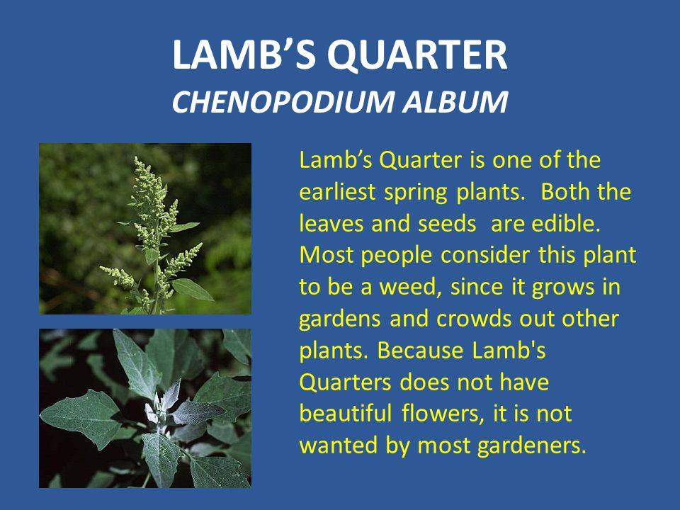 LAMB'S QUARTER CHENOPODIUM ALBUM Lamb's Quarter is one of the earliest spring plants. Both the leaves and seeds are edible. Most people consider this