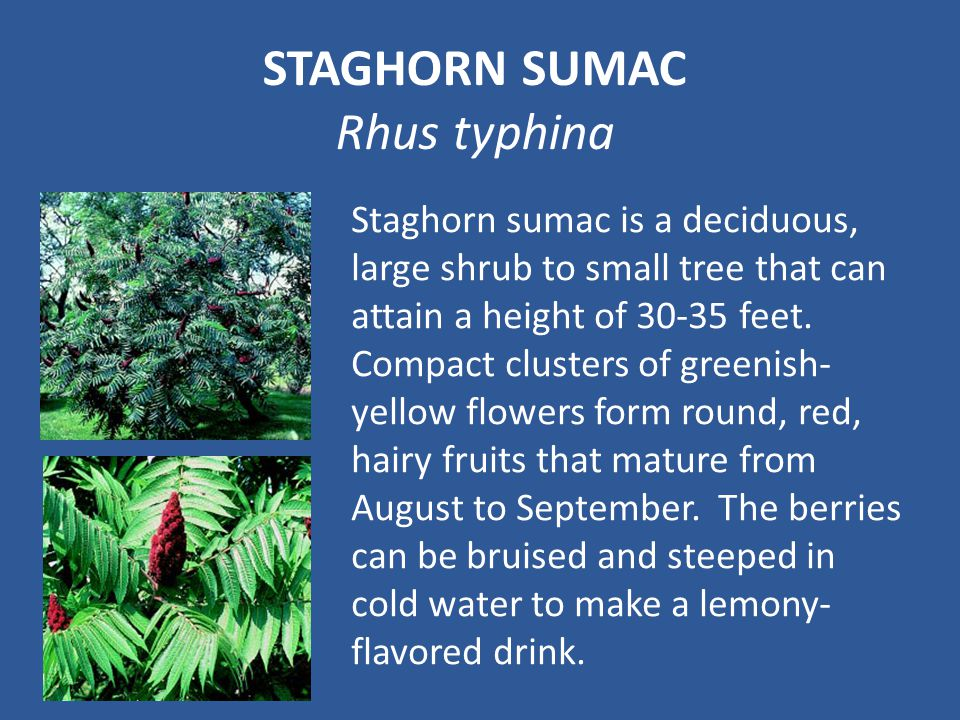STAGHORN SUMAC Rhus typhina Staghorn sumac is a deciduous, large shrub to small tree that can attain a height of 30-35 feet.