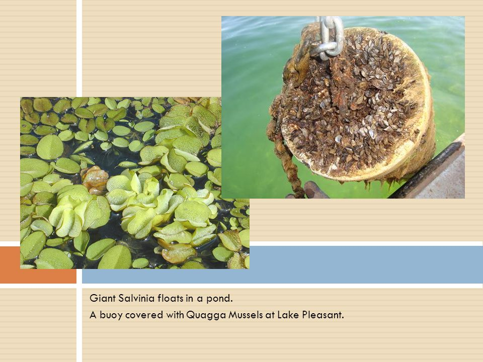 Giant Salvinia floats in a pond. A buoy covered with Quagga Mussels at Lake Pleasant.