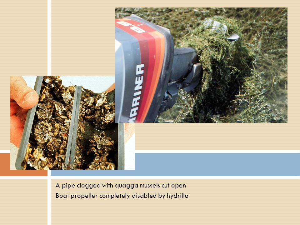 A pipe clogged with quagga mussels cut open Boat propeller completely disabled by hydrilla