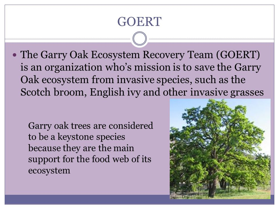 GOERT The Garry Oak Ecosystem Recovery Team (GOERT) is an organization who's mission is to save the Garry Oak ecosystem from invasive species, such as the Scotch broom, English ivy and other invasive grasses Garry oak trees are considered to be a keystone species because they are the main support for the food web of its ecosystem