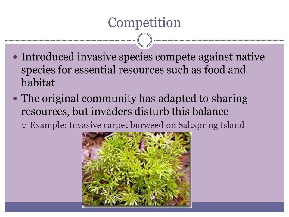 Competition Introduced invasive species compete against native species for essential resources such as food and habitat The original community has adapted to sharing resources, but invaders disturb this balance  Example: Invasive carpet burweed on Saltspring Island