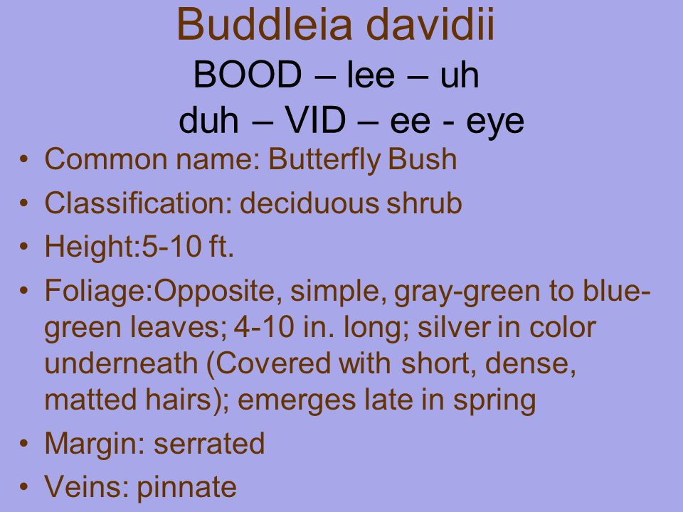 Buddleia davidii BOOD – lee – uh duh – VID – ee - eye Common name: Butterfly Bush Classification: deciduous shrub Height:5-10 ft.