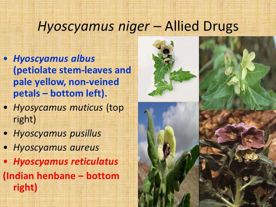Hyoscyamus niger – Allied Drugs Hyoscyamus albus (petiolate stem-leaves and pale yellow, non-veined petals – bottom left). Hyosycamus muticus (top rig