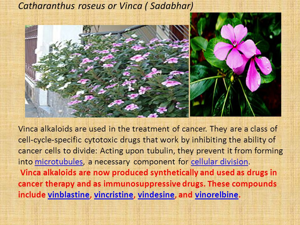 Catharanthus roseus or Vinca ( Sadabhar) Vinca alkaloids are used in the treatment of cancer. They are a class of cell-cycle-specific cytotoxic drugs