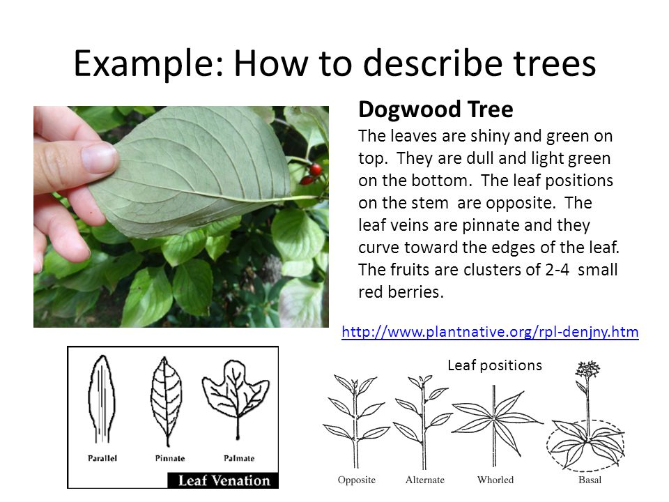 Example: How to describe trees Dogwood Tree The leaves are shiny and green on top. They are dull and light green on the bottom. The leaf positions on