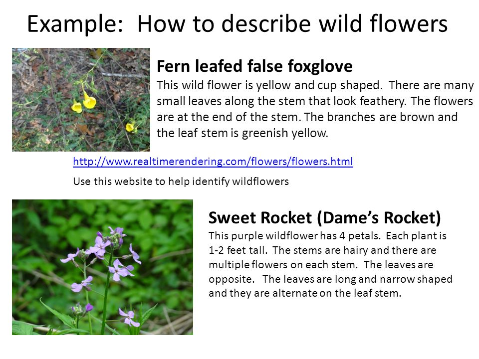 Example: How to describe wild flowers Fern leafed false foxglove This wild flower is yellow and cup shaped. There are many small leaves along the stem