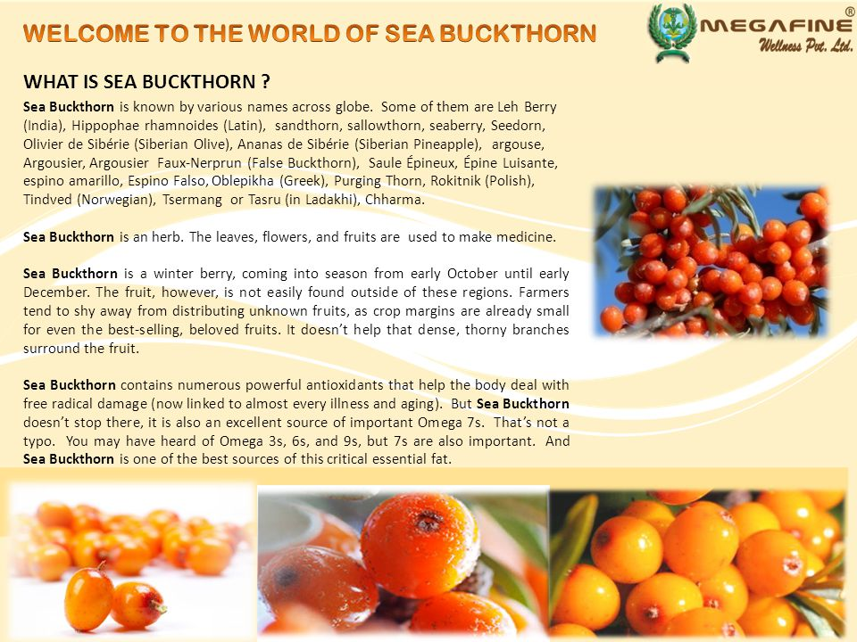 Tracing the history of Sea Buckthorn, can take us 2400 years ago.