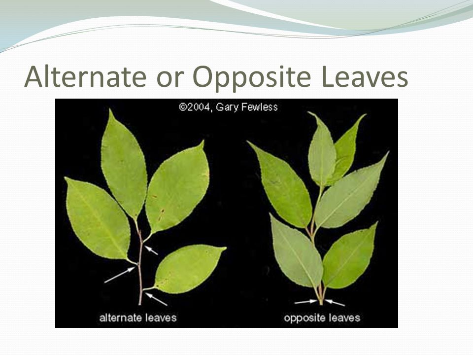 Alternate or Opposite Leaves