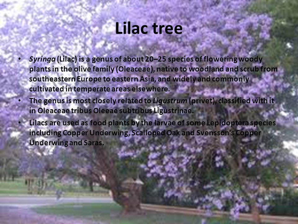 Lilac tree Syringa (Lilac) is a genus of about 20–25 species of flowering woody plants in the olive family (Oleaceae), native to woodland and scrub from southeastern Europe to eastern Asia, and widely and commonly cultivated in temperate areas elsewhere.