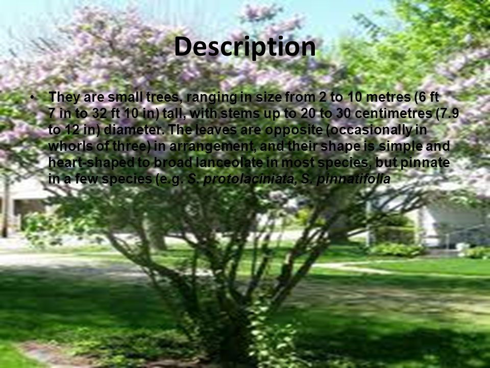 Cultivation and uses Lilacs are popular shrubs in parks and gardens throughout the temperate zone, and several hybrids and numerous cultivars have been developed.