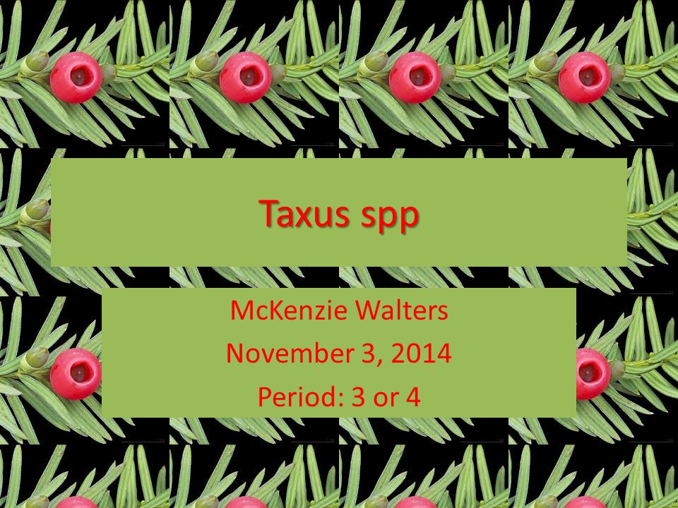 Taxus spp McKenzie Walters November 3, 2014 Period: 3 or 4