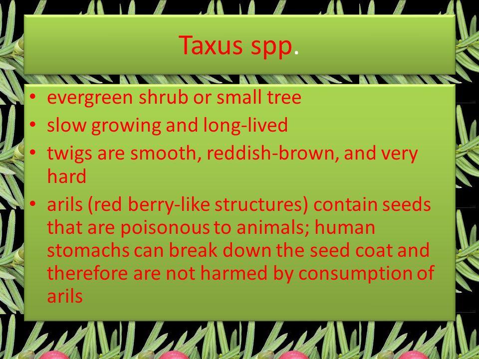 Taxus spp.