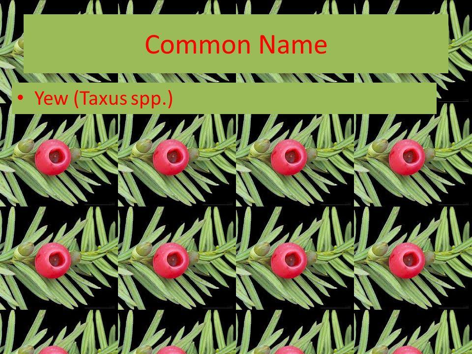Common Name Yew (Taxus spp.)