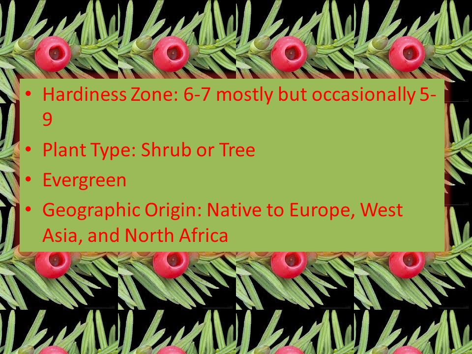 Hardiness Zone: 6-7 mostly but occasionally 5- 9 Plant Type: Shrub or Tree Evergreen Geographic Origin: Native to Europe, West Asia, and North Africa