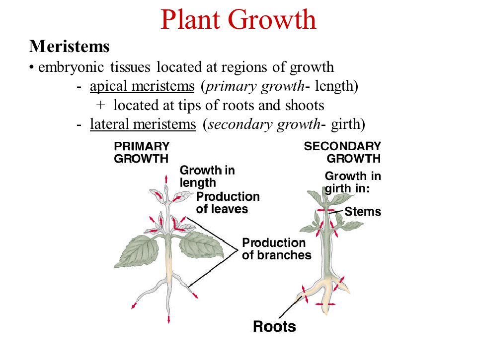 Plant Growth Meristems embryonic tissues located at regions of growth - apical meristems (primary growth- length) + located at tips of roots and shoot
