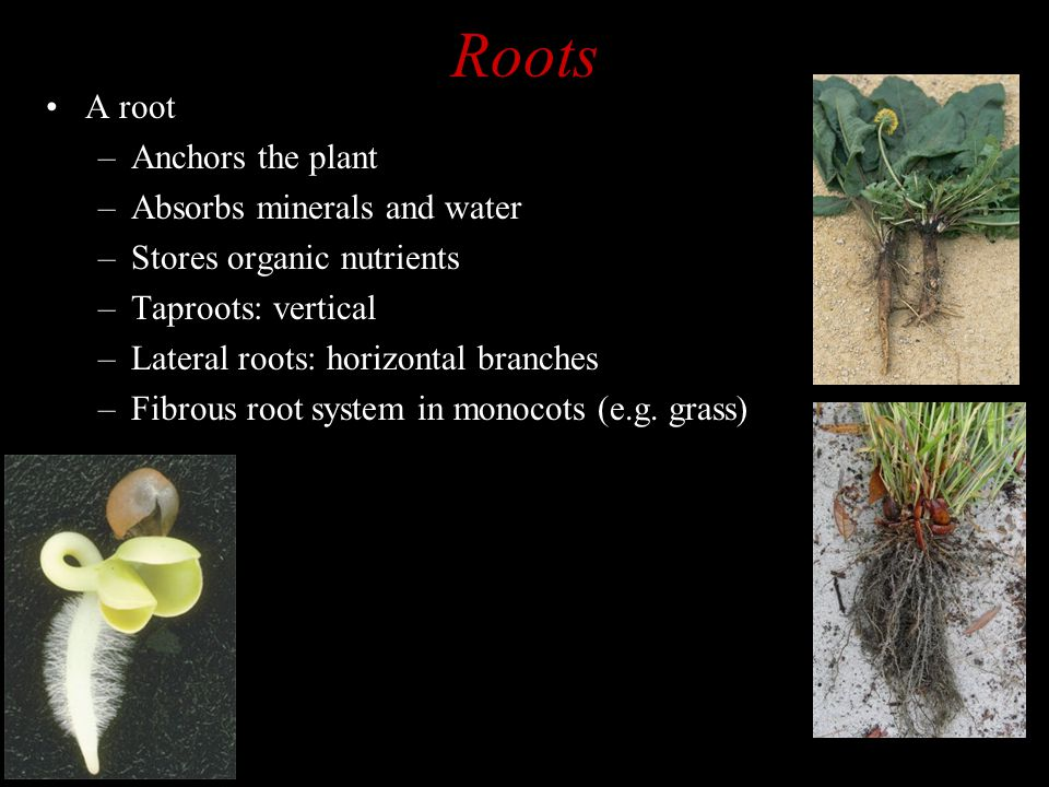 Roots A root –Anchors the plant –Absorbs minerals and water –Stores organic nutrients –Taproots: vertical –Lateral roots: horizontal branches –Fibrous root system in monocots (e.g.