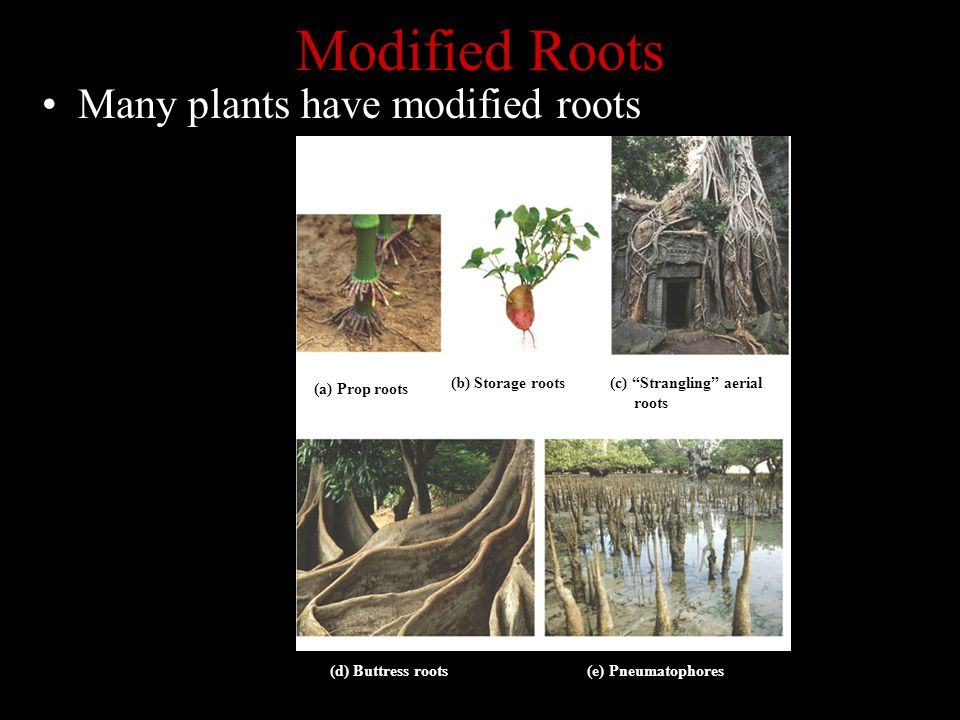 """Modified Roots Many plants have modified roots (a) Prop roots(b) Storage roots (c) """"Strangling"""" aerial roots (d) Buttress roots(e) Pneumatophores (a)"""