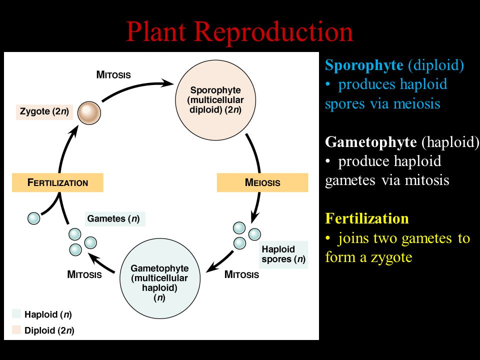 Plant Reproduction Sporophyte (diploid) produces haploid spores via meiosis Gametophyte (haploid) produce haploid gametes via mitosis Fertilization joins two gametes to form a zygote