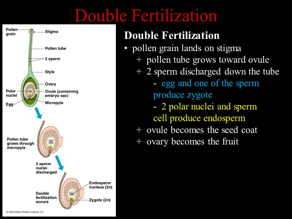 Double Fertilization pollen grain lands on stigma + pollen tube grows toward ovule + 2 sperm discharged down the tube - egg and one of the sperm produce zygote - 2 polar nuclei and sperm cell produce endosperm + ovule becomes the seed coat + ovary becomes the fruit