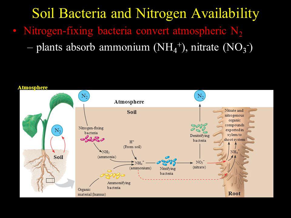 Soil Bacteria and Nitrogen Availability Nitrogen-fixing bacteria convert atmospheric N 2 –plants absorb ammonium (NH 4 + ), nitrate (NO 3 - ) Atmosphe