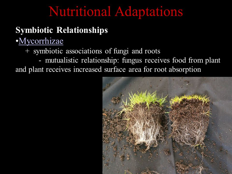 Nutritional Adaptations Symbiotic Relationships Mycorrhizae + symbiotic associations of fungi and roots - mutualistic relationship: fungus receives food from plant and plant receives increased surface area for root absorption