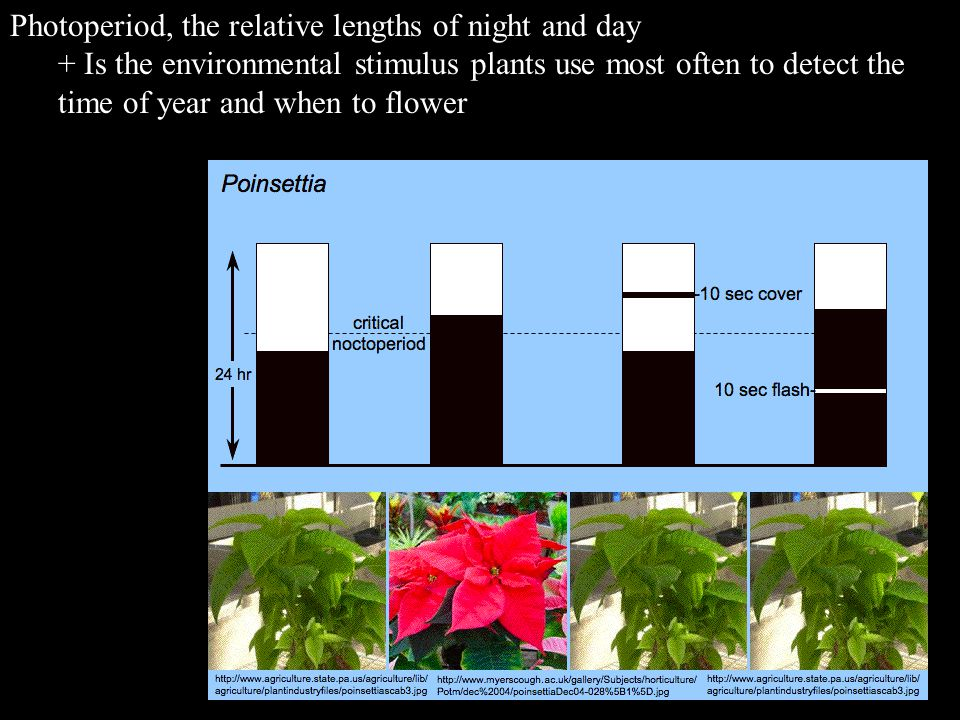 Photoperiod, the relative lengths of night and day + Is the environmental stimulus plants use most often to detect the time of year and when to flower