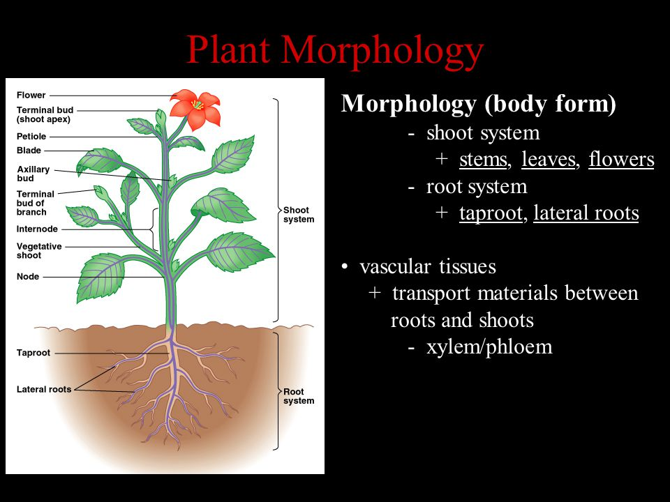 Plant Morphology Morphology (body form) - shoot system + stems, leaves, flowers - root system + taproot, lateral roots vascular tissues + transport ma