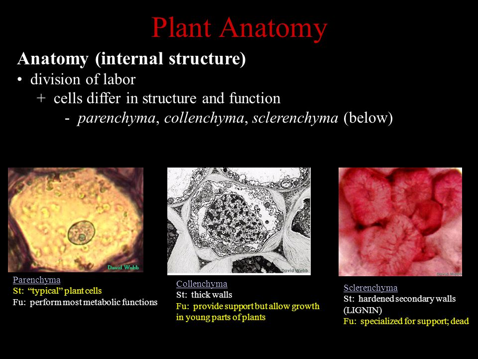 Plant Anatomy Anatomy (internal structure) division of labor + cells differ in structure and function - parenchyma, collenchyma, sclerenchyma (below) Parenchyma St: typical plant cells Fu: perform most metabolic functions Collenchyma St: thick walls Fu: provide support but allow growth in young parts of plants Sclerenchyma St: hardened secondary walls (LIGNIN) Fu: specialized for support; dead