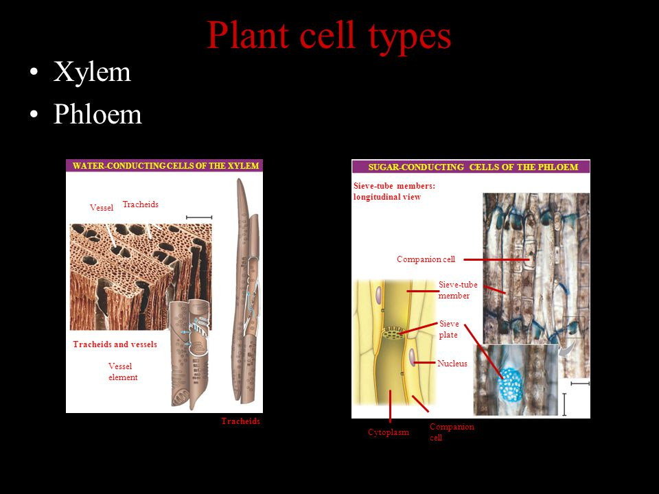 Plant cell types Xylem Phloem WATER-CONDUCTING CELLS OF THE XYLEM Vessel Tracheids Tracheids and vessels Vessel element Tracheids SUGAR-CONDUCTING CELLS OF THE PHLOEM Companion cell Sieve-tube member Sieve-tube members: longitudinal view Sieve plate Nucleus Cytoplasm Companion cell