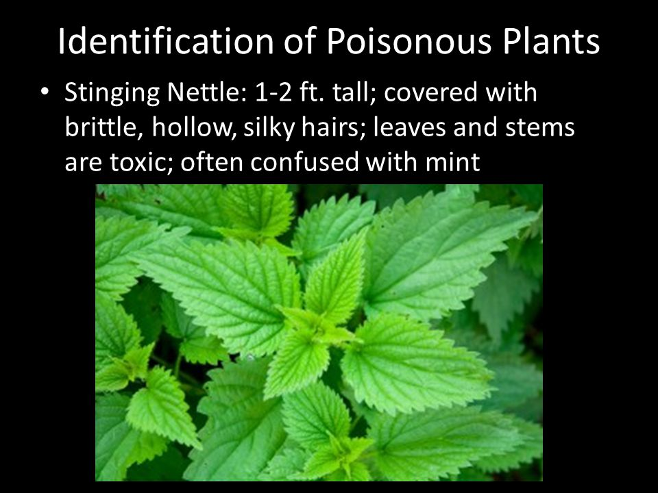 Identification of Poisonous Plants Stinging Nettle: 1-2 ft.