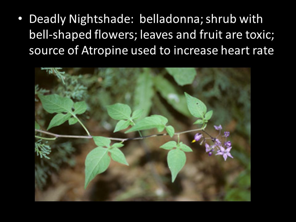 Deadly Nightshade: belladonna; shrub with bell-shaped flowers; leaves and fruit are toxic; source of Atropine used to increase heart rate