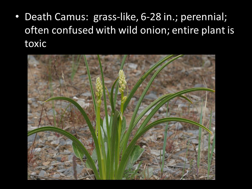 Death Camus: grass-like, 6-28 in.; perennial; often confused with wild onion; entire plant is toxic