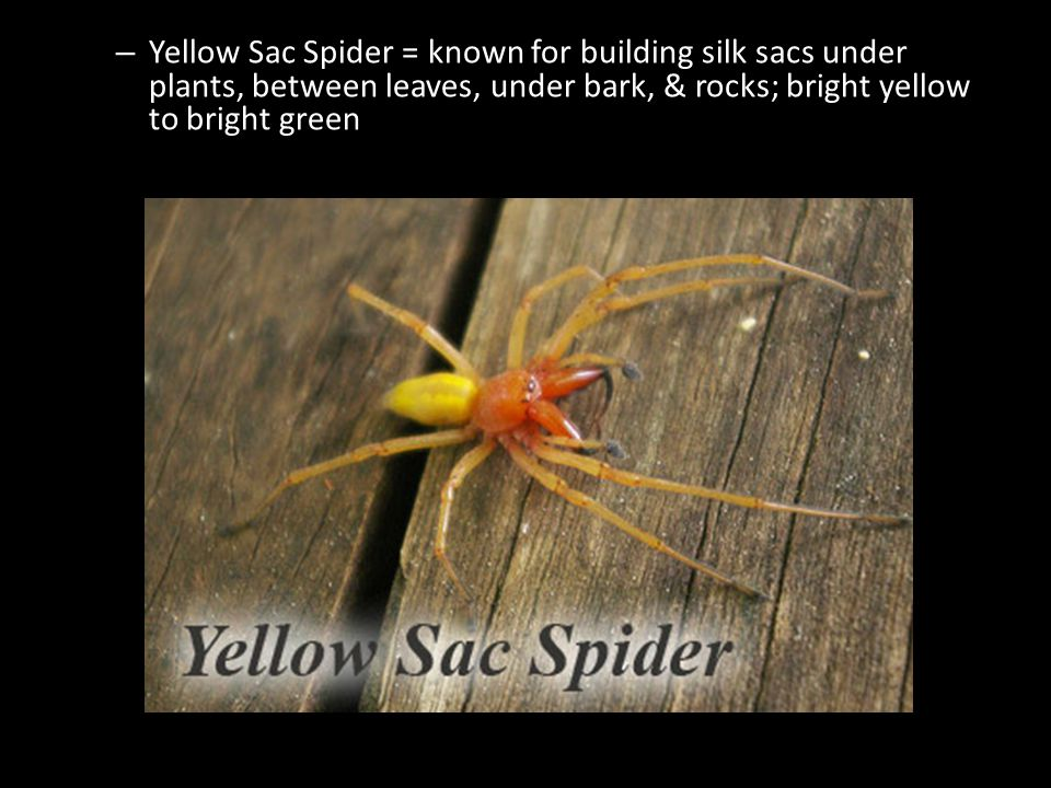 – Yellow Sac Spider = known for building silk sacs under plants, between leaves, under bark, & rocks; bright yellow to bright green