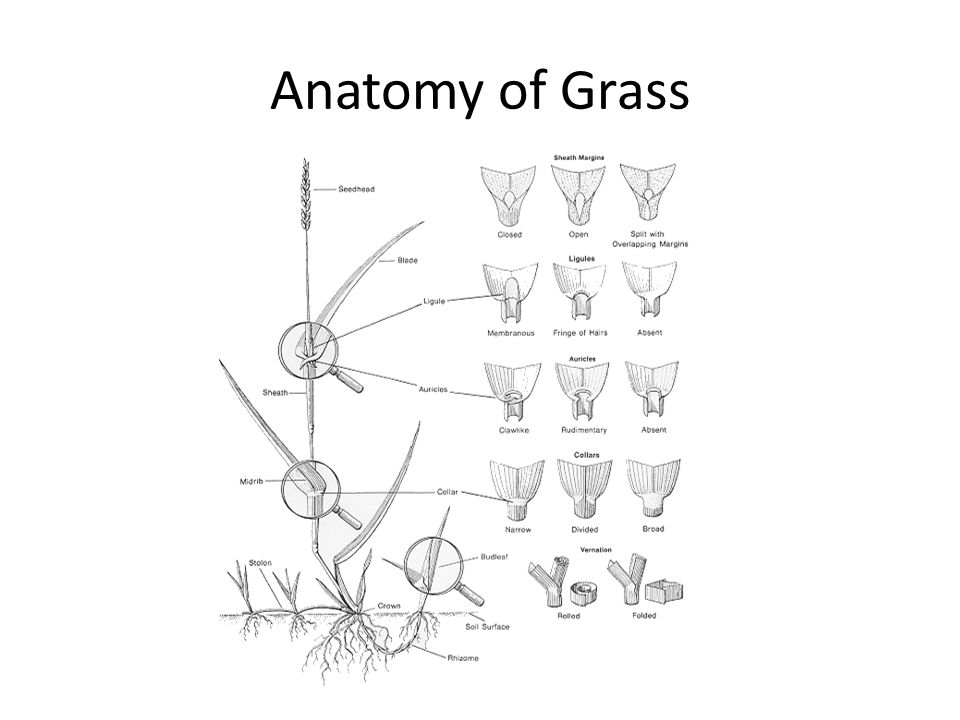 Anatomy of Grass