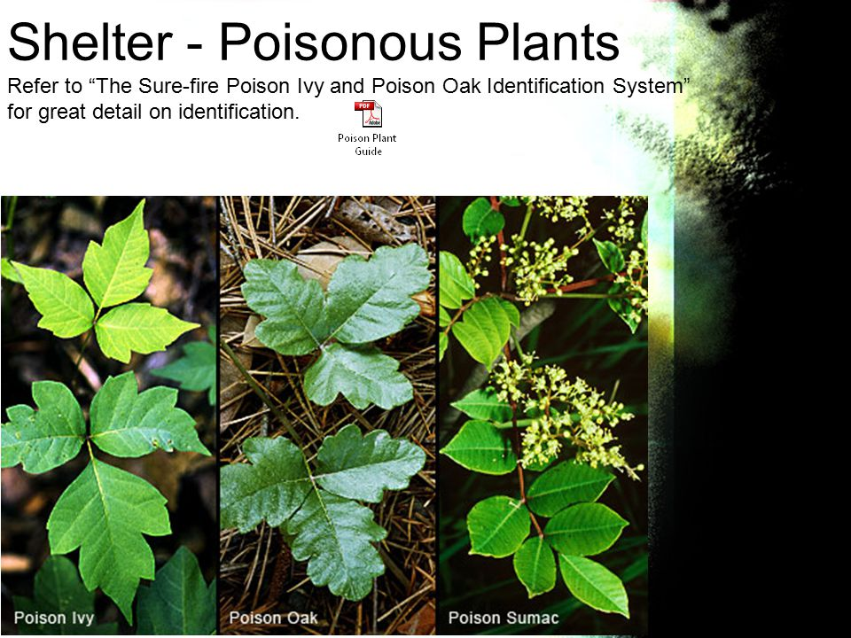 Shelter - Poisonous Plants Refer to The Sure-fire Poison Ivy and Poison Oak Identification System for great detail on identification.