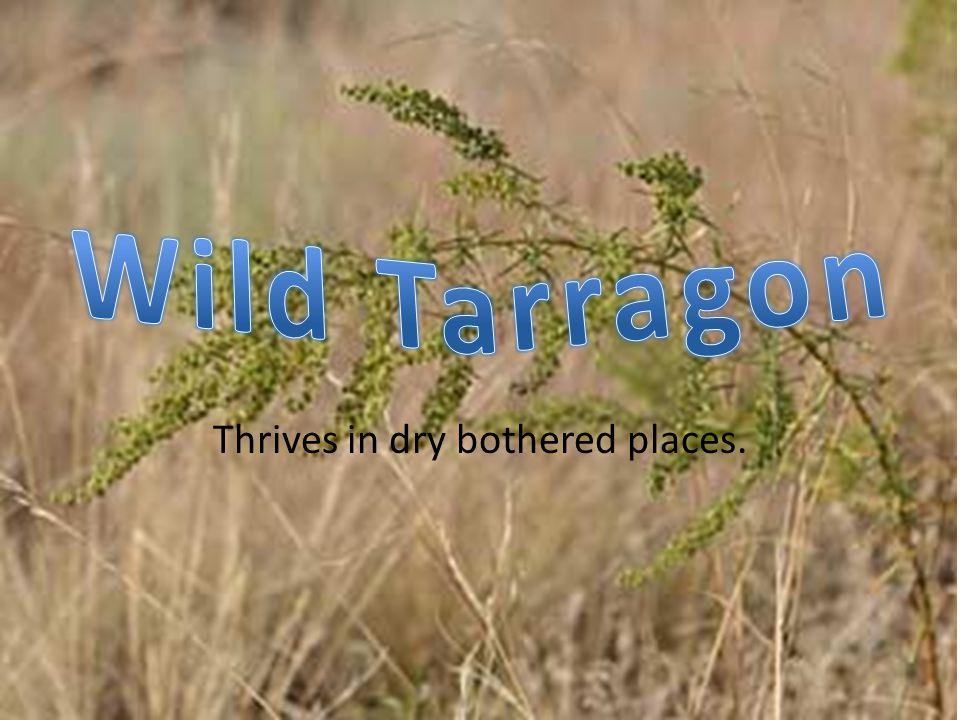 High grass/ sagebrush plateau.