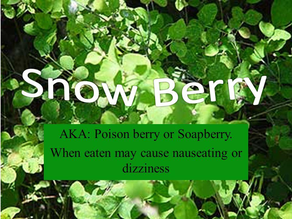 AKA: Narrow-leaf willow, River or Sandbar willow, Gray willow, Dusky willow, or Salix exigua.