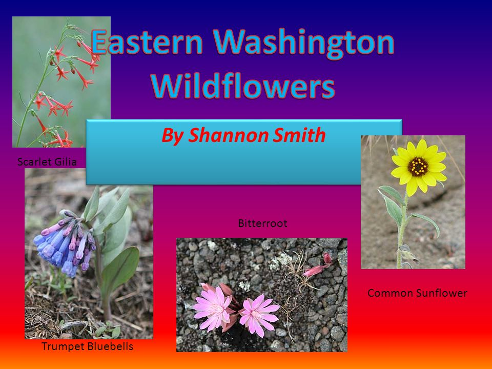 AKA: Indian arrowwood, ironwood or creambush. It is common in eastern Washington and west of the Cascade Mountains
