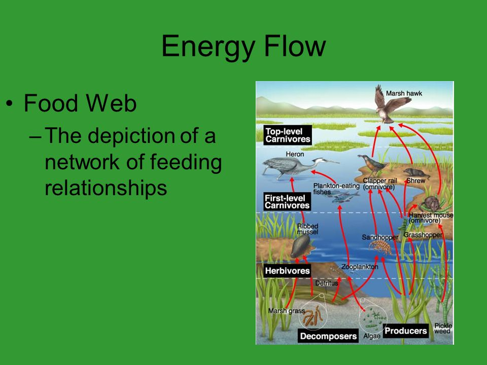 Energy Flow Food Web –The depiction of a network of feeding relationships