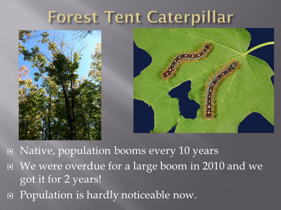  Native, population booms every 10 years  We were overdue for a large boom in 2010 and we got it for 2 years!  Population is hardly noticeable now.