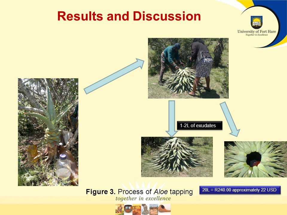 Results and Discussion Figure 3. Process of Aloe tapping 1-2L of exudates 20L = R240.00 approximately 22 USD